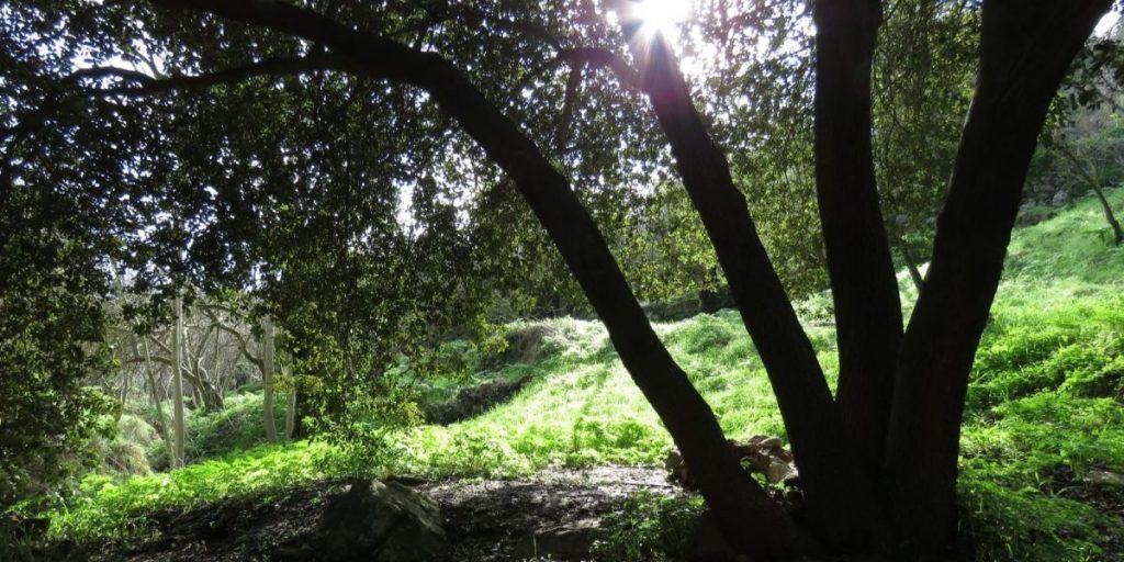 אלון מצוי ביער עירון; צילום: אבנר רימות